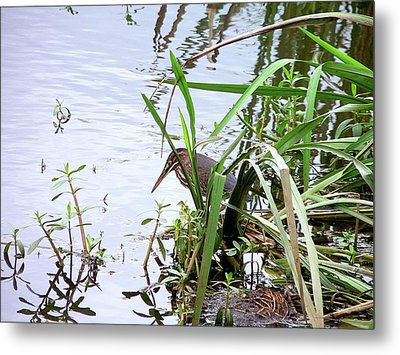 Green Heron Metal Print by Al Powell Photography USA