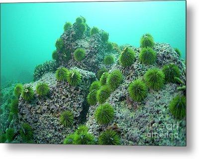 Green Sea Urchin Metal Print by Sami Sarkis