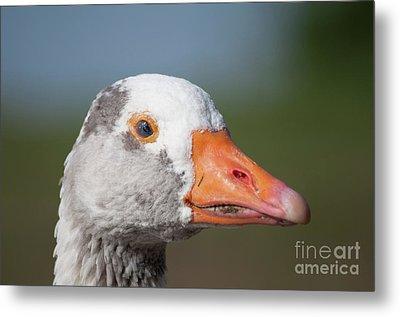 Greylag Goose Metal Print by Steve Purnell
