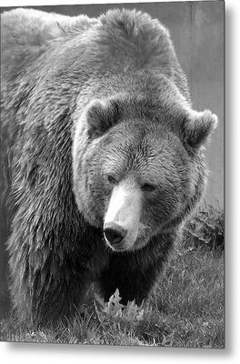Grizzly Bear And Black And White Metal Print by Tiffany Vest