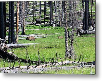 Grizzly Bear And Cub Cross An Area Of Regenerating Forest Fire Metal Print by Louise Heusinkveld