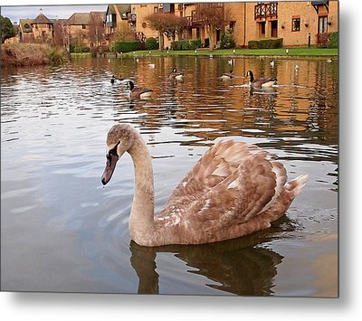 Growing Up On The River - Juvenile Mute Swan Metal Print by Gill Billington