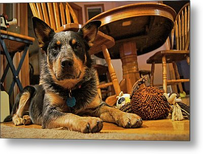 Metal Print featuring the photograph Gunner The Blue Heeler by Cricket Hackmann