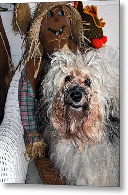 Metal Print featuring the photograph Havanese Cutie by Sally Weigand