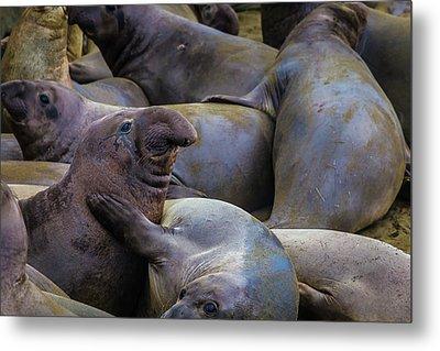 Heard Of Elephant Seals Metal Print by Garry Gay