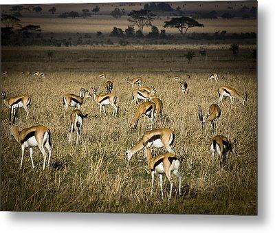 Herd Of Antelope Metal Print by Darcy Michaelchuk