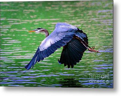 Heron In Flight At Honor Heights Park Metal Print