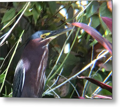 Heron With Yellow Eyes Metal Print by Val Oconnor