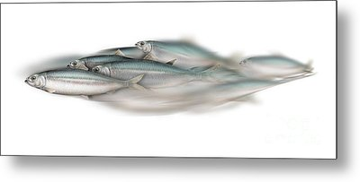 Herring School Of Fish - Clupea - Nautical Art - Seafood Art - Marine Art - Game Fish Metal Print