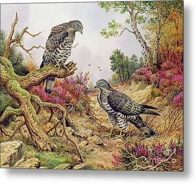 Honey Buzzards Metal Print by Carl Donner