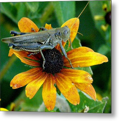 Metal Print featuring the photograph Hopper On Black Susan Flower by Jeanette Oberholtzer