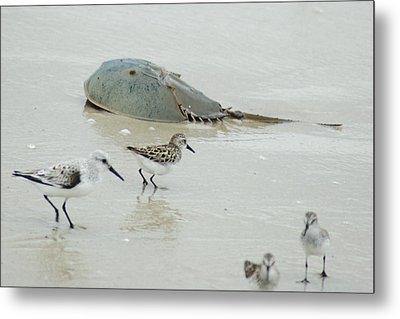 Metal Print featuring the photograph Horseshoe Crab With Migrating Shorebirds by Richard Bryce and Family