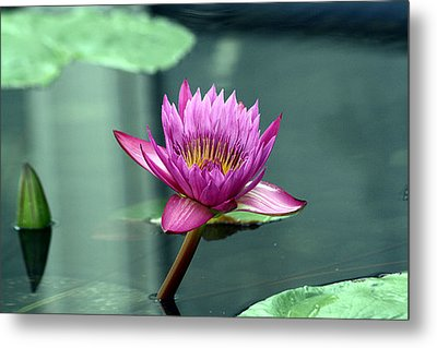 Hot Pink Water Lily Metal Print by Brenda Thour