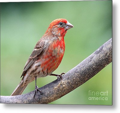 House Finch Metal Print by Wingsdomain Art and Photography