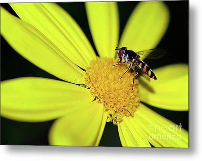 Metal Print featuring the photograph Hoverfly On Bright Yellow Daisy By Kaye Menner by Kaye Menner