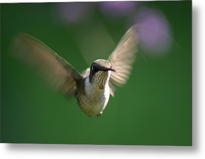 Hovering Hummingbird Metal Print by Robert E Alter Reflections of Infinity