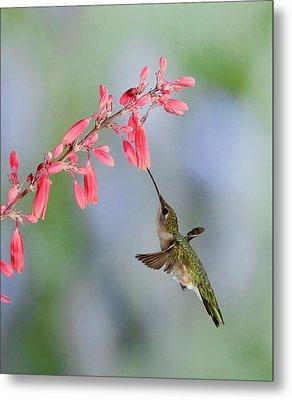 Hummingbird Metal Print by Alan Toepfer