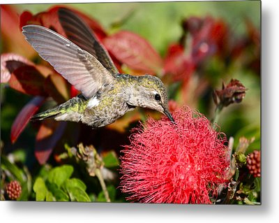 Hummingbird And Red Flower Metal Print by Paul Marto