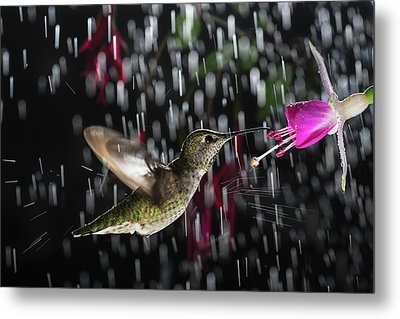 Metal Print featuring the photograph Hummingbird Hovering In Rain With Splash by William Lee