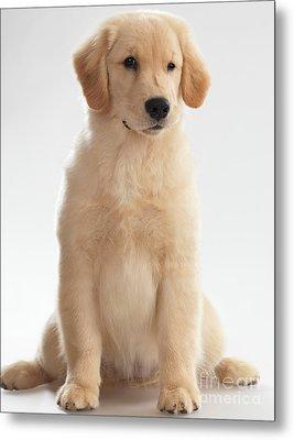 Humorous Photo Of Golden Retriever Puppy Metal Print by Oleksiy Maksymenko