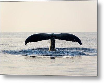 Humpback Whale Fluke Metal Print by M Sweet