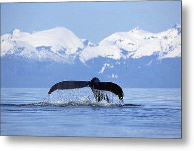 Humpback Whale Megaptera Novaeangliae Metal Print by Konrad Wothe