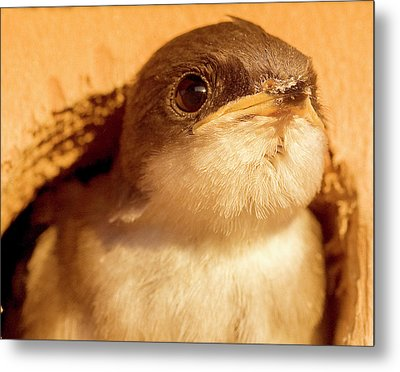 Hungry Baby Swallow Metal Print by Jean Noren