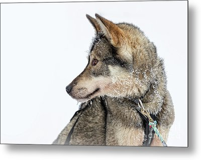 Metal Print featuring the photograph Husky Dog by Delphimages Photo Creations