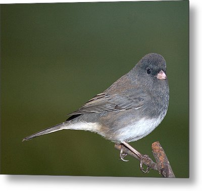 I Junco Metal Print by Richard Oliver