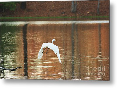 Metal Print featuring the photograph In Flight by Kim Henderson