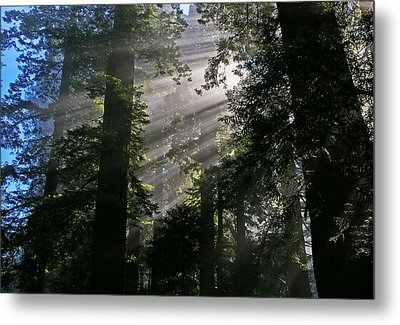 In The California Redwood Forest Metal Print by Ulrich Burkhalter