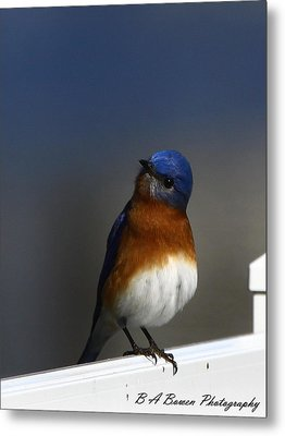 Inquisitive Bluebird Metal Print by Barbara Bowen