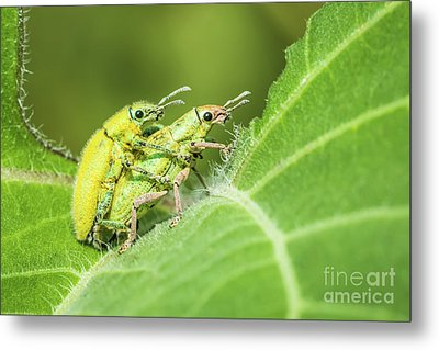 Insect Mating Metal Print by Tosporn Preede
