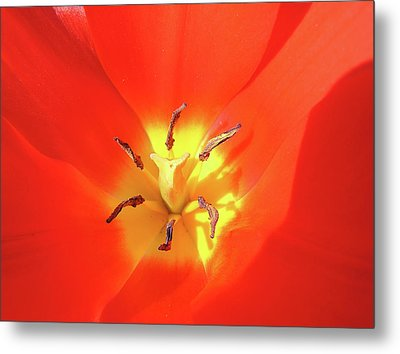 Inside Open Tulip Metal Print by Richard Mitchell