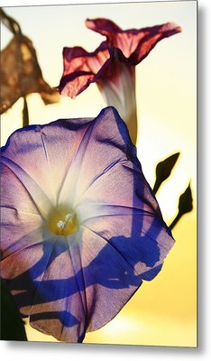 Ipomoea With Rising Sun Behind Metal Print