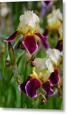 Iris Spring Metal Print by Karon Melillo DeVega