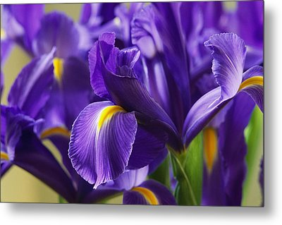 Irises, Close View, California Metal Print by Marc Moritsch