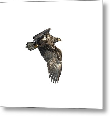 Metal Print featuring the photograph Isolated Eagle 2017-2 by Thomas Young