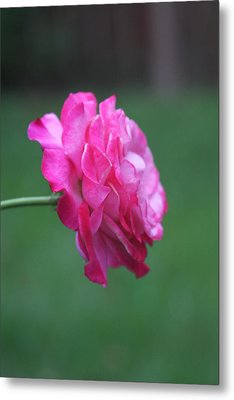 Metal Print featuring the photograph June Rose by Vadim Levin