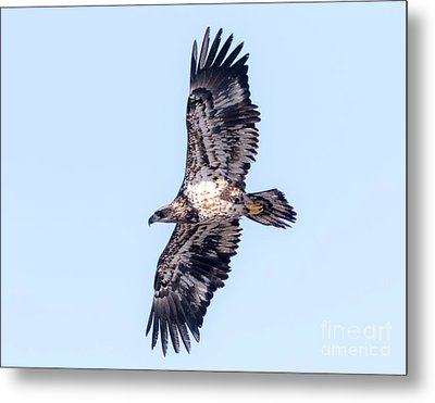 Juvenile Bald Eagle 2017 Metal Print by Ricky L Jones