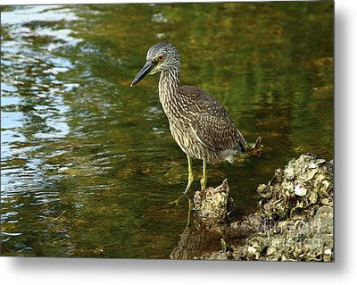 Juvenile Yellow Crowned Night Heron Metal Print by Christiane Schulze Art And Photography