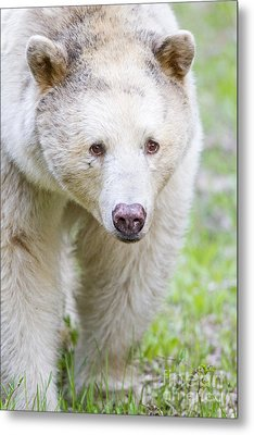 Kermode Bear Portrait Metal Print by Brandon Broderick
