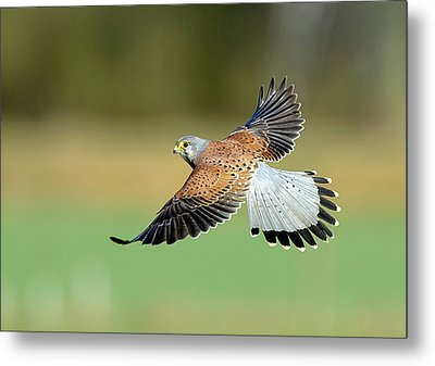 Kestrel Bird Metal Print