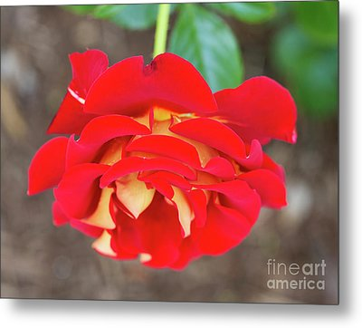 Ketchup And Mustard Rose Metal Print by Louise Heusinkveld