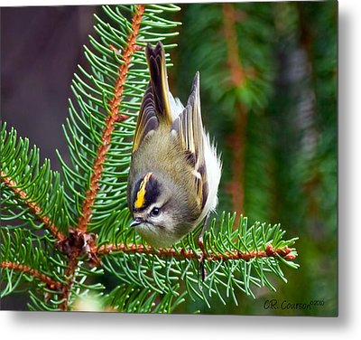 Kinglet In The Pine II Metal Print by CR  Courson