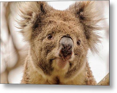 Koala 4 Metal Print by Werner Padarin