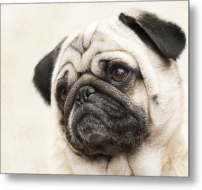 L-o-l-a Lola The Pug Metal Print by Kathy Clark