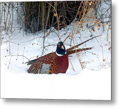 Metal Print featuring the photograph Lake Country Pheasant 2 by Will Borden