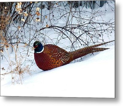 Metal Print featuring the photograph Lake Country Pheasant by Will Borden