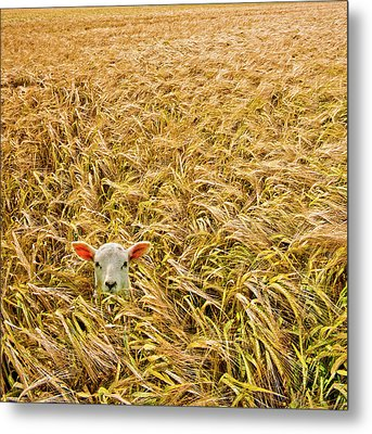 Lamb With Barley Metal Print by Meirion Matthias